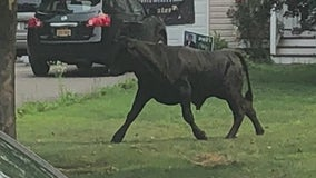 Runaway bull is still on the loose in Suffolk County
