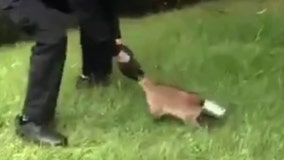 Raccoon's head gets stuck in can; cop comes to the rescue