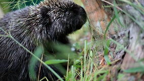 Ex-cops in Maine get jail time for beating porcupines to death
