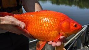 Giant goldfish turn up in Minnesota waterways