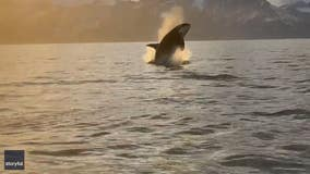 'Very exciting': Killer whale caught on camera by Alaskan boaters