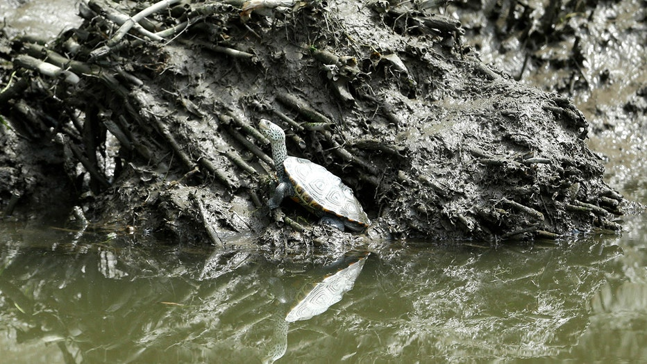 A turtle stands in the muck along the bank of a river