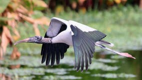 Tropical stork lands in Staten Island, dies after eating litter