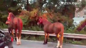 Horse trailer overturns on the Belt Parkway