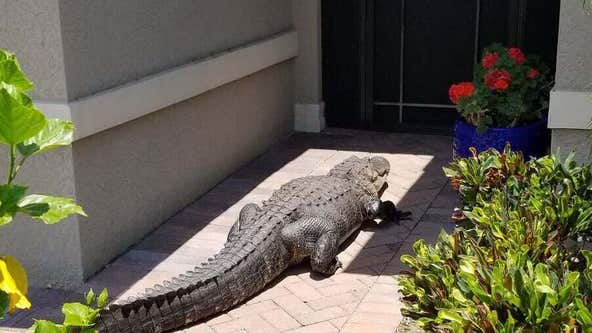 Massive alligator shows up at front door of Florida home, tries to meet neighbor's dog