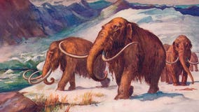 Woolly mammoth resurrection? Scientists say it's in process