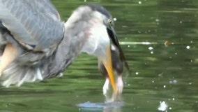 Great blue heron devours rat in Central Park