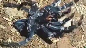 Tarantula sheds old exoskeleton in hypnotizing timelapsevideo