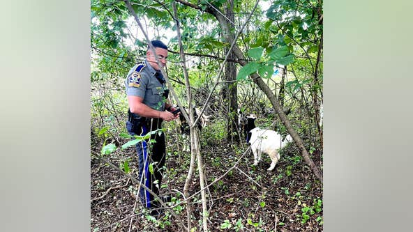 'Kids' these days: Connecticut State Troopers escort wayward goats off highway