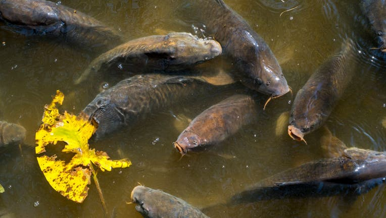 Shoal of Carps surfacing with big open mouths for air in pond.