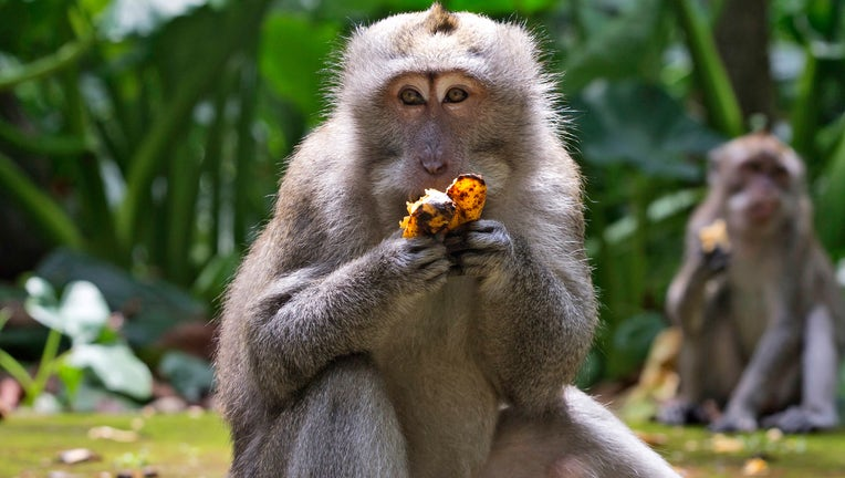 Macaques eat bananas during feeding time at Sangeh Monkey Forest in Sangeh, Bali Island, Indonesia, Wednesday, Sept. 1, 2021. (AP Photo/Firdia Lisnawati)