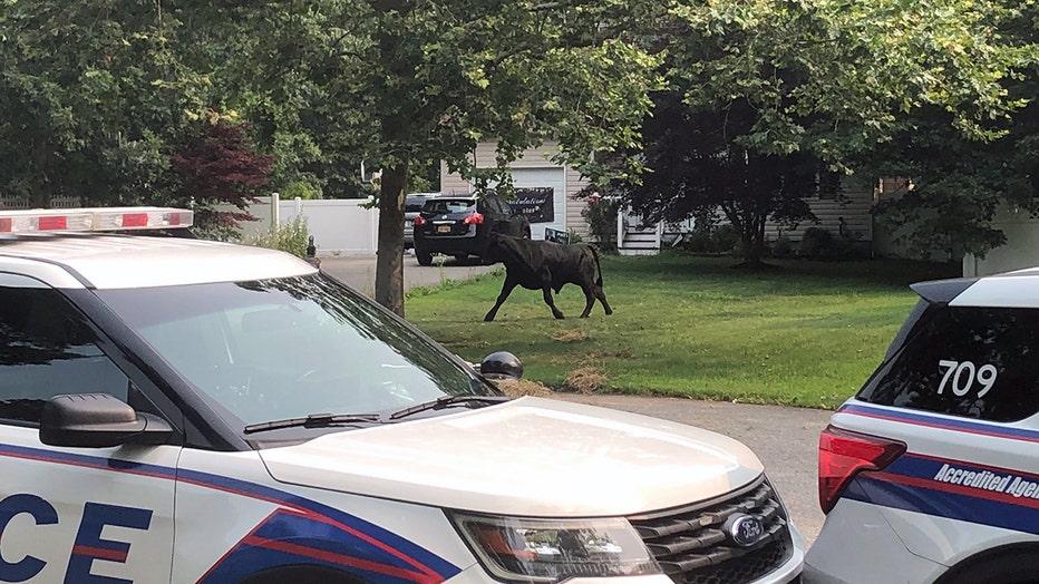 A bull running through a yard behind some police cars