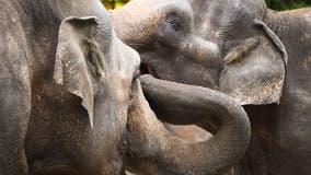 More elephants evolving to be tuskless after years of poaching, researchers say
