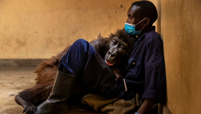 Ndakasi took her final breath in the loving arms of Andre Bauma.(Photo courtesy Brent Stirton/Virunga National Park)