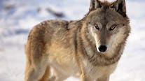 Wisconsin wolf hunt: DNR board mulls attorney options for lawsuits