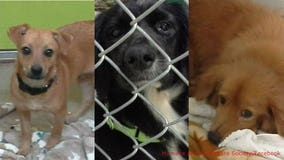 Some of the 120 dogs in Waukesha from Puerto Rico now available for adoption! 🐾