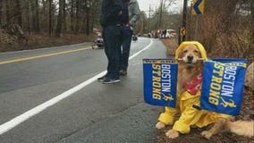 Very supportive golden retriever cheers on Boston Marathon runners