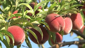 A peachy idea: Peach picking season is here at Apple Holler