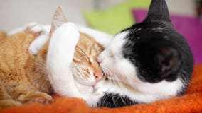 Cats with no symptoms spread COVID-19 to other cats in UW lab test