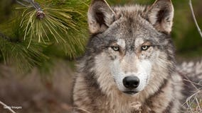 Judge orders Wisconsin DNR to start wolf hunt this month