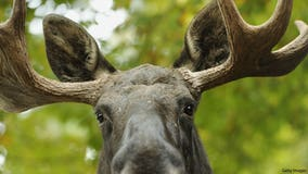 Feds deny moose protections in Wisconsin, 3 other Midwest states