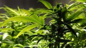 Illinois marijuana law aims to undo harm of war on the drug