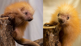 It's a girl! Disney's Animal Kingdom welcomes baby porcupine