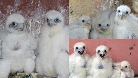 We Energies peregrine falcon chicks officially named, banded