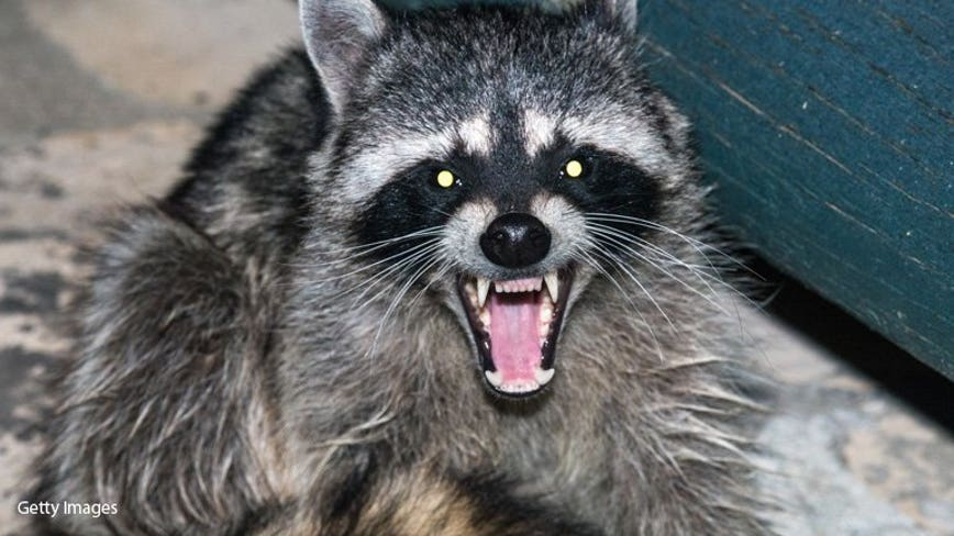 Massachusetts girl, 2, attacked by rabid raccoon: officials