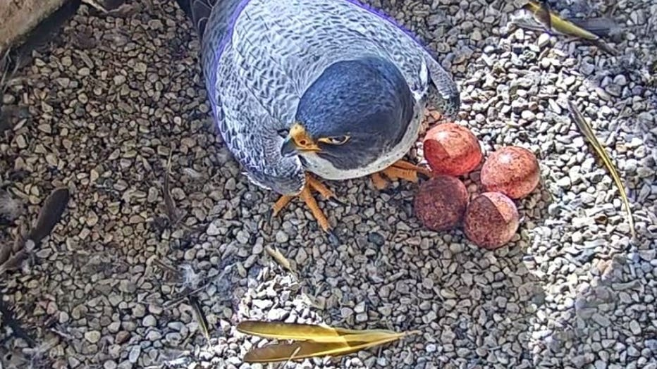 We Energies, WPS peregrine falcons welcome more than a dozen early Easter eggs