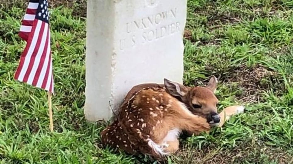 Fawn curls up at 'Unknown' soldier's headstone in Georgia cemeter