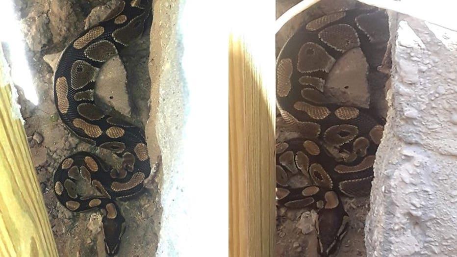 Ball python found in Riverwest