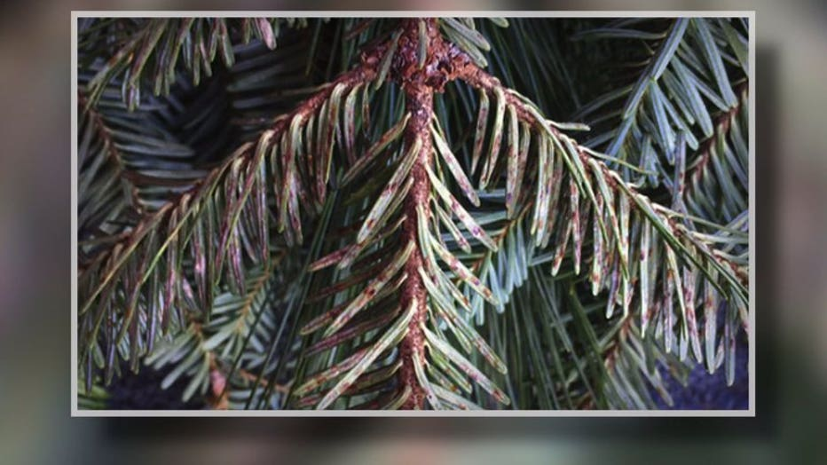 Christmas Tree Bug Warning 2020 Bug infested Christmas wreaths, decor sold in Wisconsin; officials