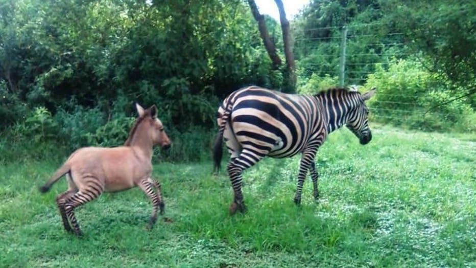 Zebra gives birth to rare 'zonkey' foal