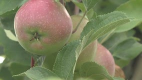 Apple picking at Apple Holler offers the ultimate opportunity to practice social distancing