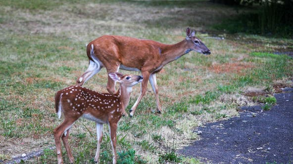 Help track deer populations: DNR asking the public to participate in Operation Deer Watch