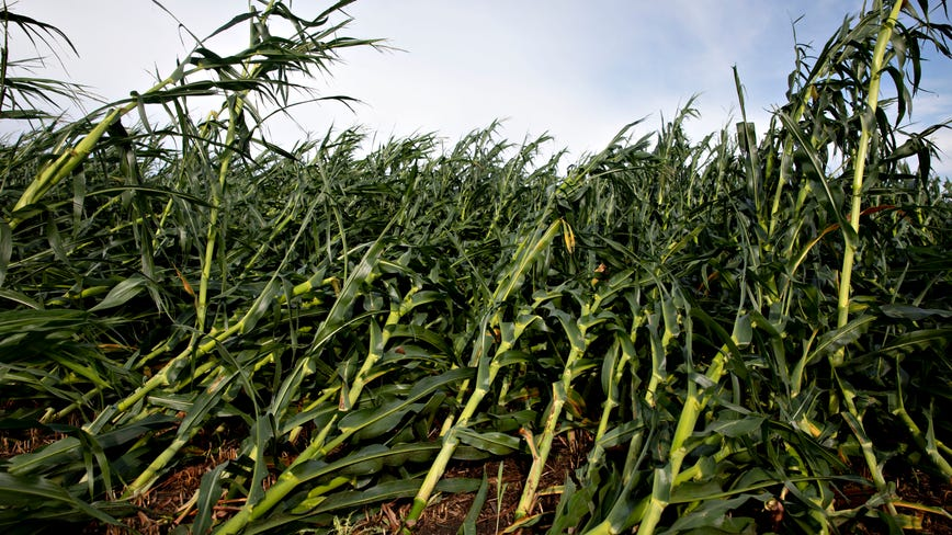 Derecho damaged up to 10 million acres of Iowa farmland; corn and soybean crop most impacted