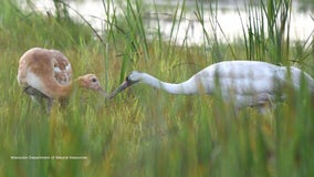 1st whooping crane to survive Wisconsin winter becomes a mother