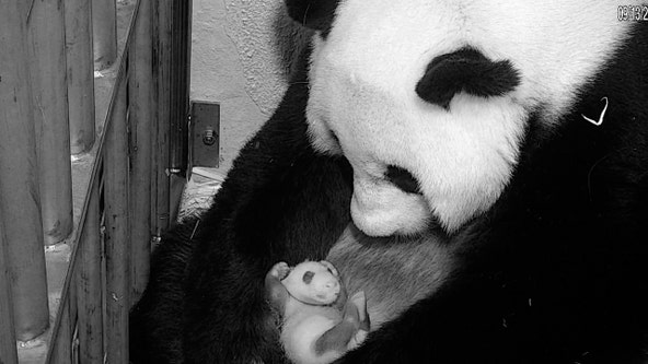 National Zoo's giant panda cub marks one month since birth with 1st veterinary exam