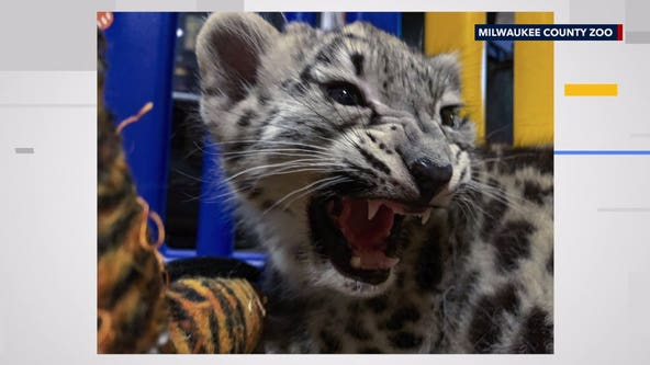 Snow leopard cub, Milja, to make public debut at Milwaukee County Zoo