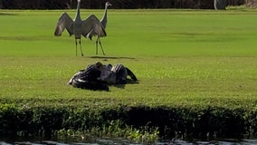 Shorebirds watch as alligators wrestle on South Florida golf course