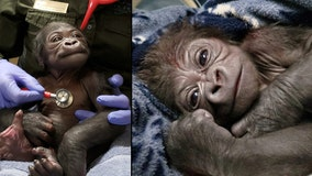 Adorable baby gorilla born via C-section at Boston zoo