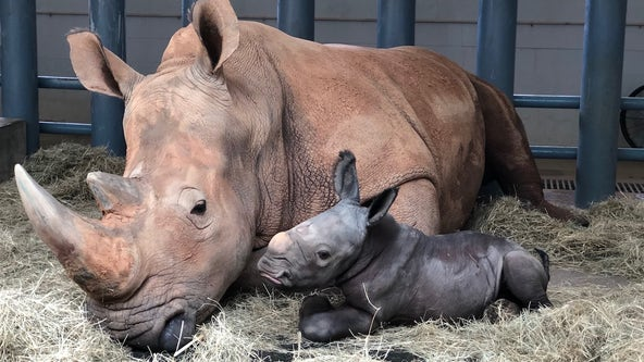 Baby white rhino born at Disney's Animal Kingdom