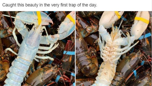 Creepy crawler: Fisherman catches rare 'ghost' lobster