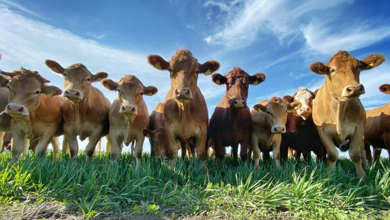 e439d380-Cows
