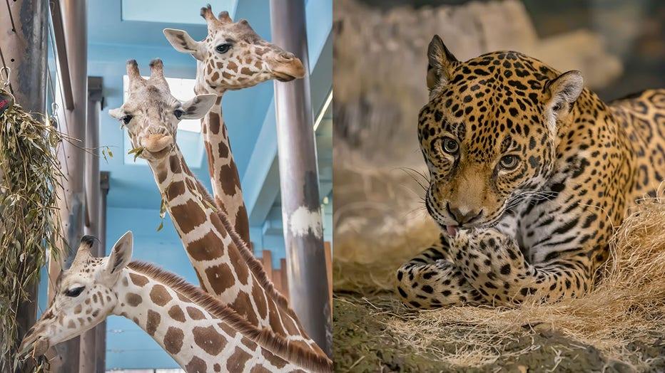 Milwaukee County Zoo, giraffes, jaguar