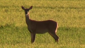 Wisconsin deer hunters urged to submit samples for CWD