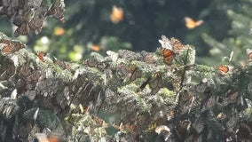 Thousands of monarch butterflies have finally arrived in Mexico