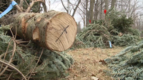 Farms 'already out' of Christmas trees as demand soars in 2020