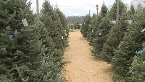 Holidays are over, remove those Christmas trees safely now